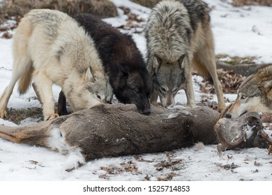 Pack of Grey Wolves (Canis lupus) Gather at White-Tail Deer Carcass Winter - captive animals