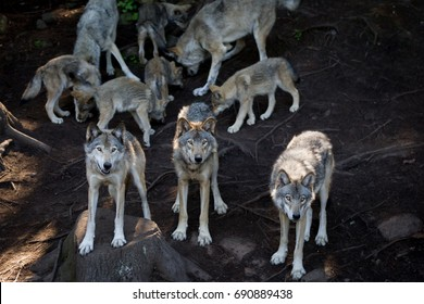 A pack of grey wolves (Canis Lupus) seen in the Canadian forest during the summer months with pups in the background.