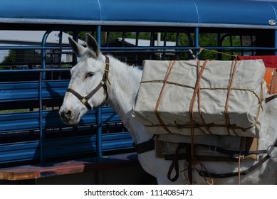 Pack Horse: White mule stands at ready with pack in place