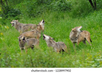 Pack of howling gray wolves, Germany, Europe