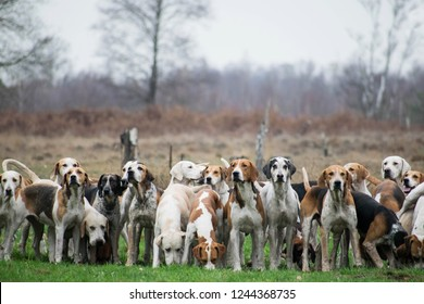 Pack of hunting hounds waiting in line to start the scent trail. Fox hunt scene. Netherlands, Dutch landscape. Dogs standing in line looking towards camera.