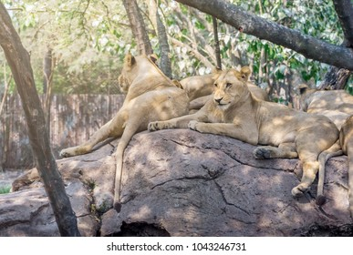 Pack of lion rest on the rock in a zoo of Thailand. Group of female lion in day light on the rock.