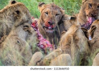 Pack of Lions eating fresh kill