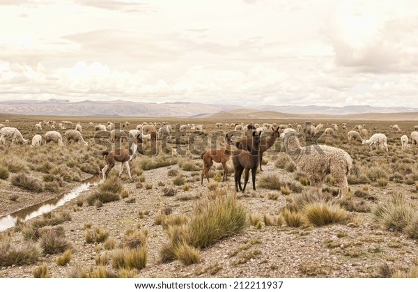 A pack of llamas and alpacas in the field on a cloudy day.