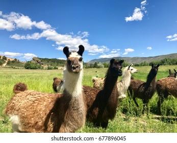 Pack of llamas in prairie grassland