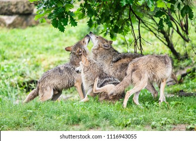 A pack of Mexican Grey Wolves playing in the forest.