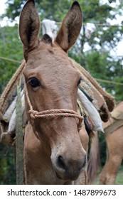 Pack mule - head shot