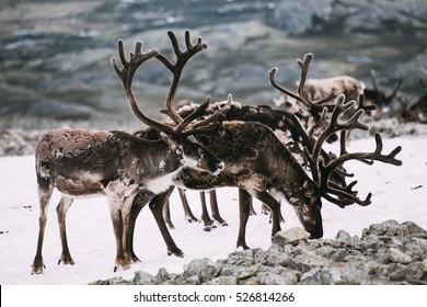 Pack of Norwegian reindeers standing on snow patch