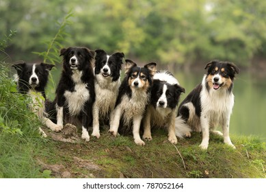 A pack of obedient dogs - Border Collie group in all ages from the young dog to the senior