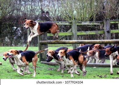 Pack of Old English Foxhounds jump over and run under fence whilst out hunting with Holderness Hunt : Catfoss, East Yorkshire, UK : 24 December 2012