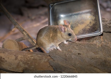 Pack Rat sitting by stainless steel food tray on ground