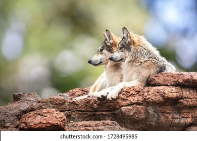 A pack of two beautiful Mexican Gray Wolves rest together on the edge of a rocky cliff and calmly look left against a blurred background of green trees and sky.