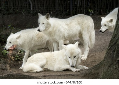 Pack of white arctic wolfs watching. One with meat in its mouth