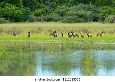 Pack of Wild Dog Hunting in Botswana. Wildlife scene from Africa, Moremi, Okavango delta. Animal behaviour, group pride of African wild dogs near the yellow flowered lake.