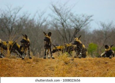 Pack wild dogs alligned