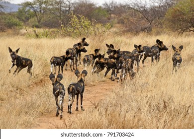Pack of wild dogs (Cape hunting dogs, painted dogs), Samburu Game Reserve, Kenya