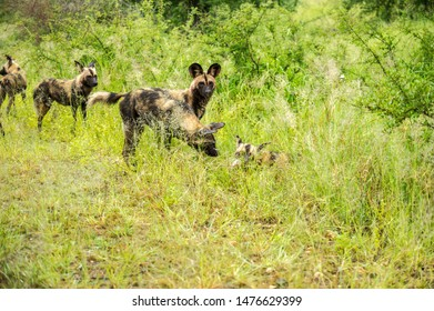 Pack Of Wild Dogs In Green Grass