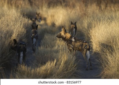 The Pack, a pack of Wild dogs in Madikwe reserve, South Africa.
