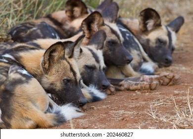 Pack of wild dogs sleeping.
