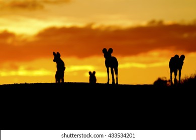 Pack of wild dogs at sunset