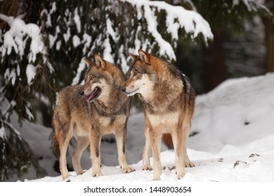 A pack of wild wolves in the snow in a cold winter