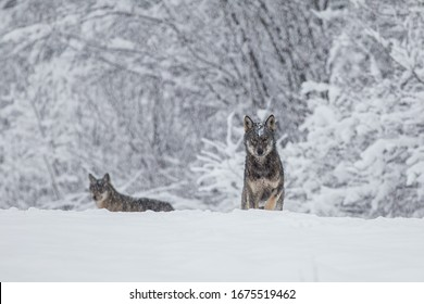 pack of wolves above deer carcass in winter scenery