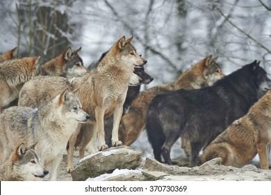 ein Bündel von Wölfen im Schnee