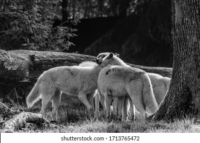 A pack of wolves working together in the forest
