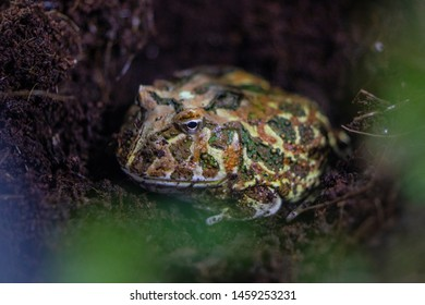 pacman frogs in terrarium, anuro amphibian of the Leptodactylidae family.
