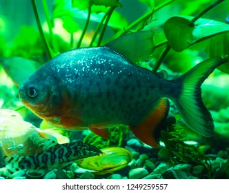 the pacu (piranhas)