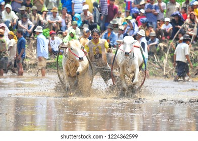 Padang, West sumatra /Indonesia - 30-03-2013 Pacu jawi Traditional Race Buffalow from West Sumatra
