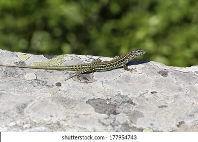 Padarcis tiliguerta, Tyrrhenian Wall Lizard (male)  on a wall in Corsica, France, Europe
