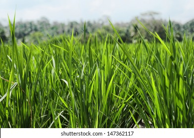 Paddy farm sprouts leaves