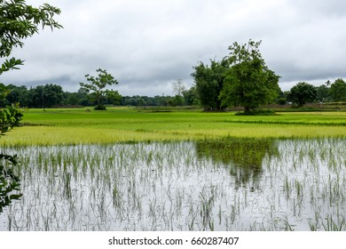 Paddy field of Assam