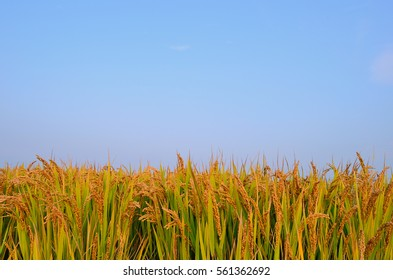 Paddy field in autumn,China