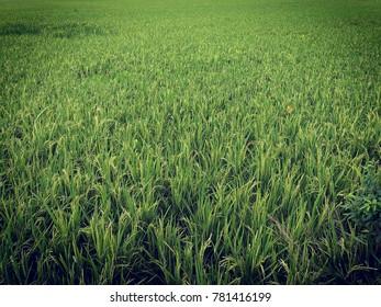 Paddy field background - Shutterstock ID 781416199