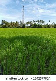 a paddy field at hometown, malaysia