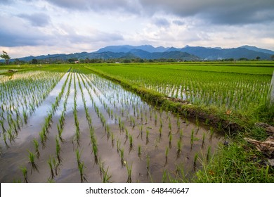 paddy field in indonesia