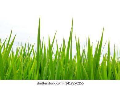 Paddy field in japan akita asia