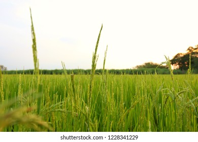 Paddy field a month before harvest.