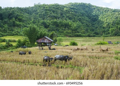 Paddy field - Paddy rice , Farmers harvesting rice on hills and buffalos at Mae Sariang District , Mae Hong Son ,Thailand