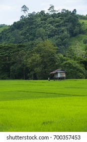 Paddy field - Paddy rice at Phayao Province ,Thailand