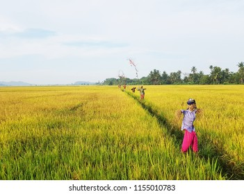 Paddy field with scarecrow