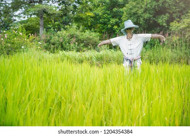 Paddy field with scarecrow. The scarecrow in the country .