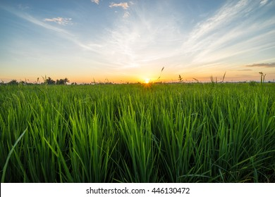 Paddy field with sunrise in Sungai Besar, Malaysia