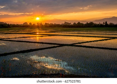 Paddy Field Sunset