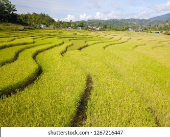 Paddy field terrace at a rural village in Sabah Malaysian Borneo.
