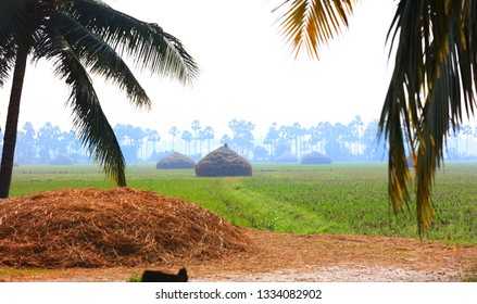 Paddy fields in Andhra Pradesh state in India