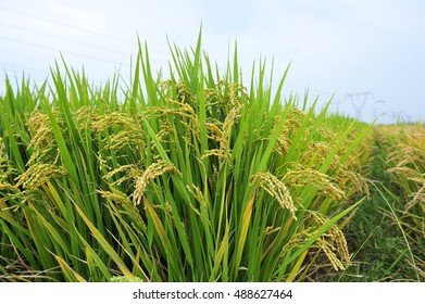 The paddy fields in the autumn