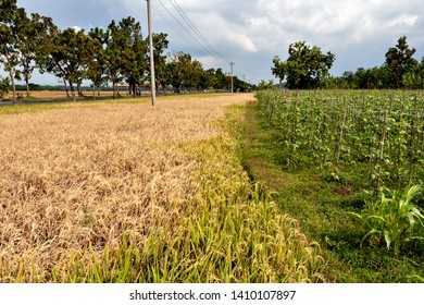Paddy fields damaged by brown plant hoppers in Java island of Indonesia